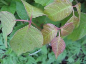 spring poison ivy
