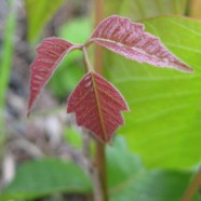 What Does Poison Ivy Look Like in Spring?