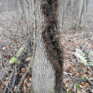 Poison Ivy: Hairy Vine