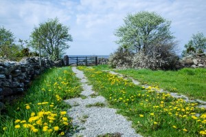 dandelion road
