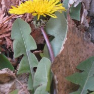 Dandelions: Death on the Lawn