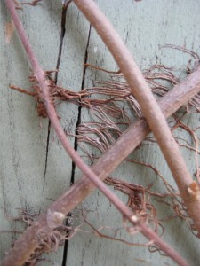 poison ivy rootlets