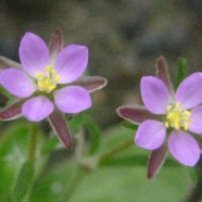 Chickweed: Anywhere Will Do