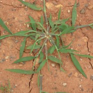 Crabgrass: Green Spider