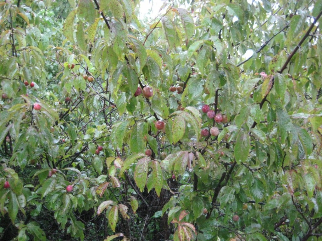 plums on plum creek