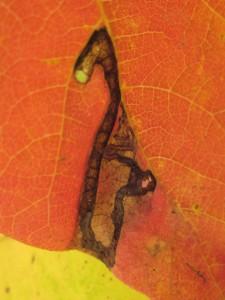 poison ivy leaf miner