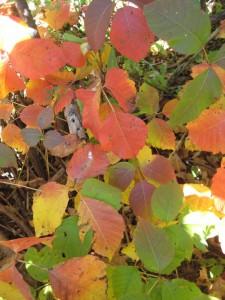 poison ivy autumn colors