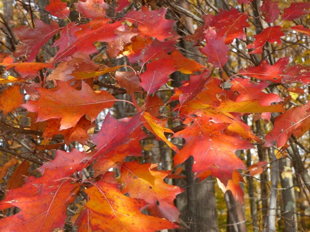 fall red oak leaves
