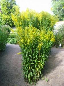 goldenrod linnaeus garden