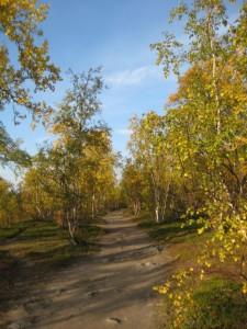 abisko birch forest