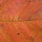 poison ivy leaf close