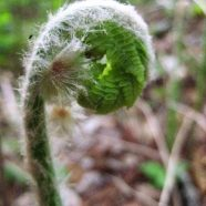 Ferns: Can You Eat Fiddleheads?