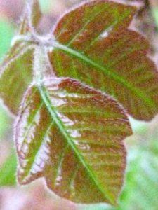 shiny poison ivy