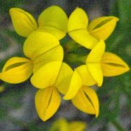 Birdsfoot Trefoil: What's in a Name?