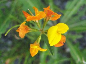 birds foot trefoil seed