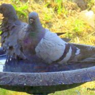 Pigeons: Two in the Bird Bath