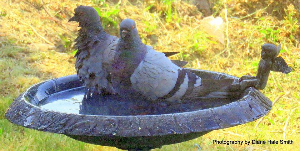 pigeons diane hale smith