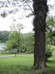 honey locust in Central Park
