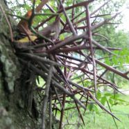 Honey Locust: Defanged