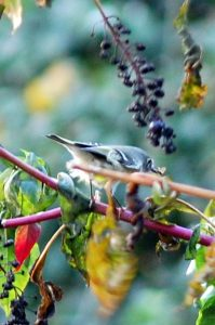 pokeweed bird baldwin