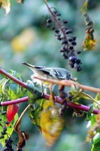 pokeweed bird baldwin