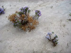 badlands asters