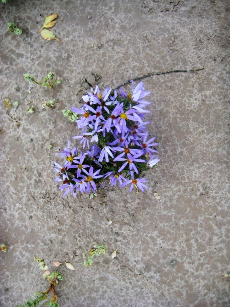 asters badlands