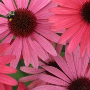 Purple Coneflower: Pollinator Favorite