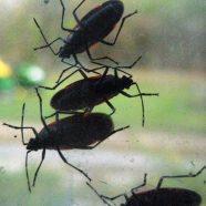 Invasion of the Box Elder Bugs