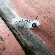 In Defense of Fuzzy Caterpillars