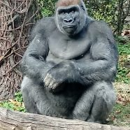 Gorilla: A Day at the Zoo