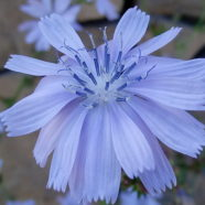 Chicory: Beautiful Blue Coffee Substitute