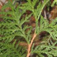 How To Identify Evergreens