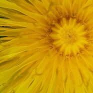 The Beauty of Dandelions