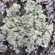Lichens: What Are They, Anyway?