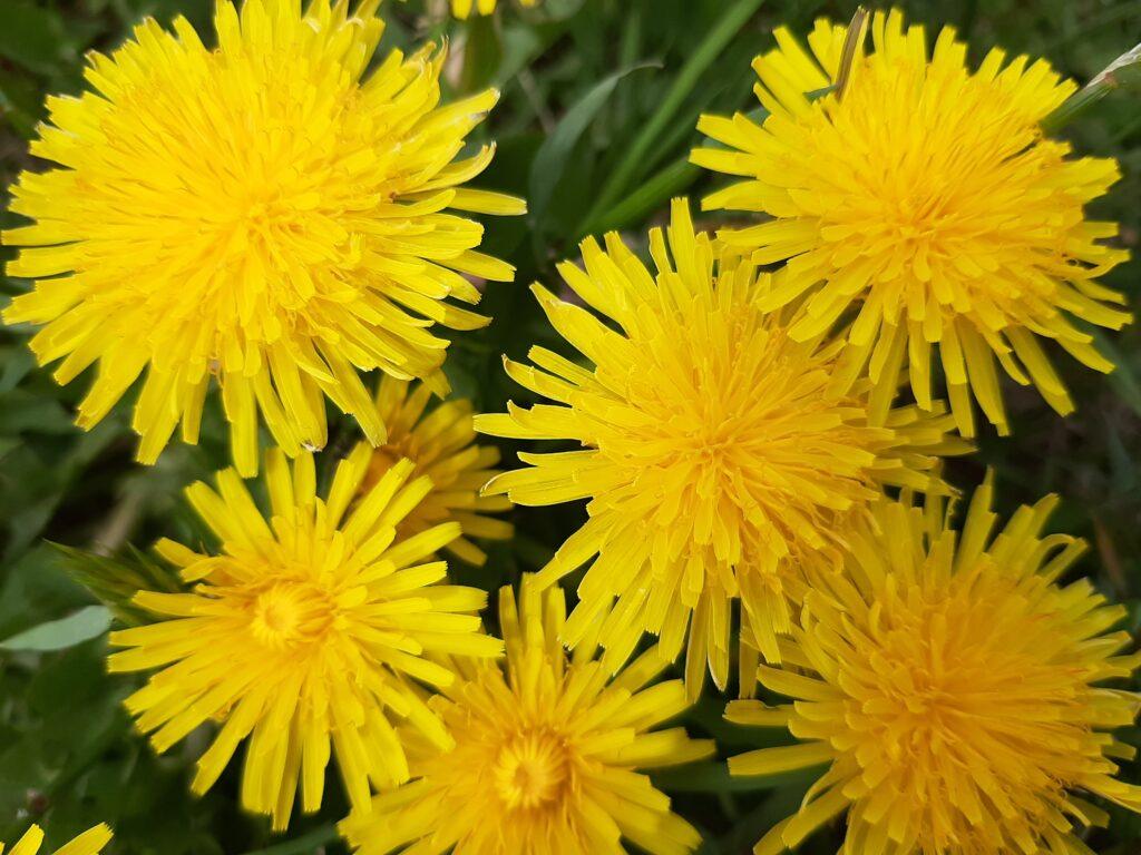 dandelions on lawn