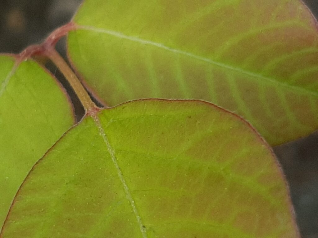 poison ivy stems close up