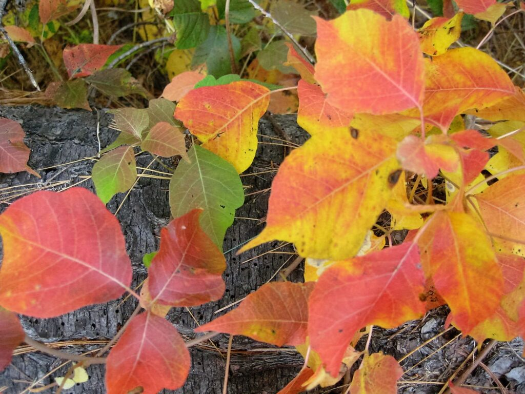 poison ivy leaves fall colors