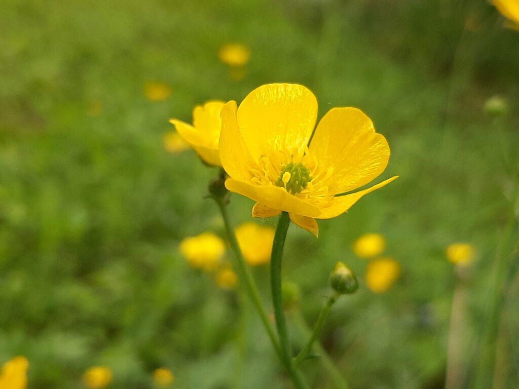 buttercup meadow