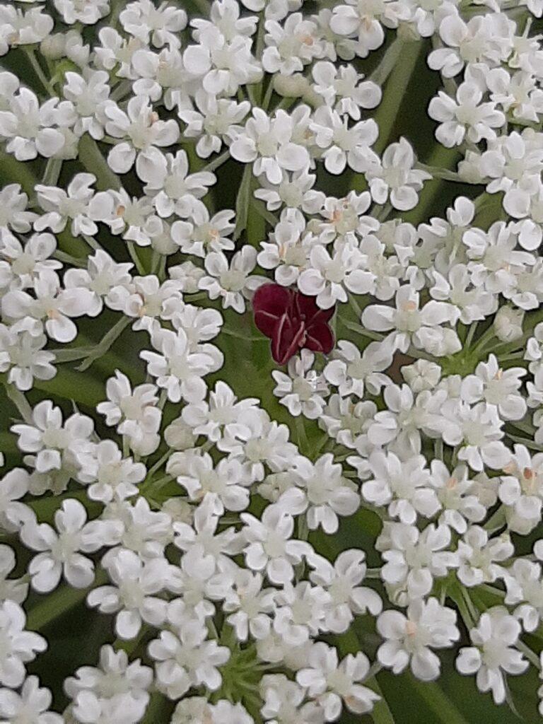queen annes lace center