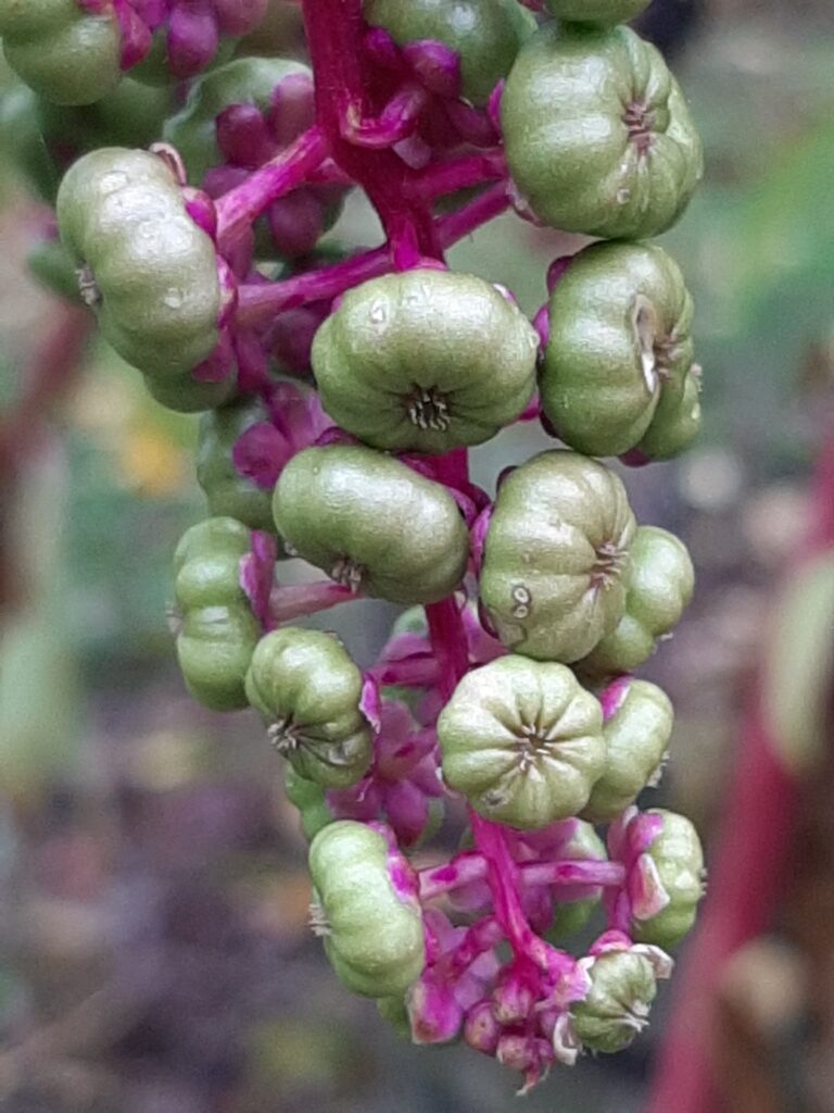 green pokeweed berries